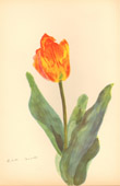 Botany - Vegetable - Plants and Flowers - Tulip