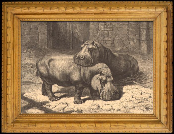 Antique Prints & Drawings   Hippopotamus - Jardin des Plantes of Paris - Botanical Garden   Wood engraving   1880