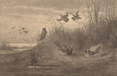 Fishing and Hunting - Bird - Fight of Ruffs (Philomachus Pugnax)