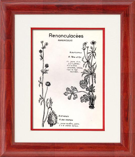 Gravures Anciennes & Dessins | Botanique - Plantes - Renonculacées - Ranunculaceae - Ranunculus - Auricomus - Arvensis - Tête d'or - Des Champs | Planche | 1950