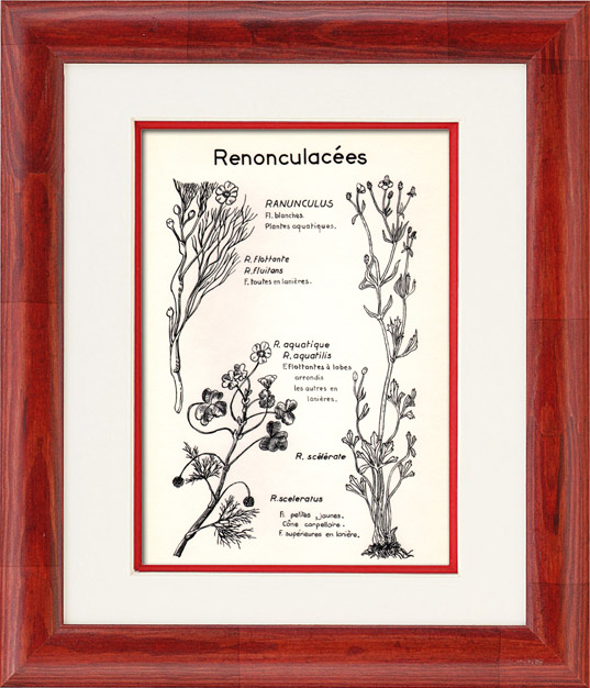 Antique Prints & Drawings   Botany - Botanical - Ranunculaceae - Ranunculus - Fluitans - Sceleratus   Plate   1950