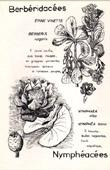 Botany - Botanical - Berberidaceae - Nymphaeaceae - Berberis vulgaris - Nymphaea alba
