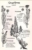 Botany - Botanical - Brassicaceae - Thlaspi - lepidium - Arvense - Graminifolium - Campestre