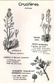 Botany - Botanical - Brassicaceae - Capsella bursa-pastoris - Draba verna - Senebiera coronopus