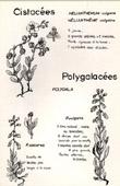 Botany - Botanical - Cistaceae - Polygalaceae - Polygala - Helianthemum vulgare - Calcarea - Vulgaris