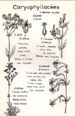 Botany - Botanical - Caryophyllaceae - Inflata - Conica - Otites