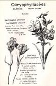 Botany - Botanical - Caryophyllaceae - Saponaria officinalis - Dianthus carthusianorum