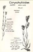 Botany - Botanical - Caryophyllaceae - Dianthus prolifer - Dianthus armeria