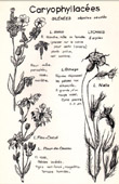Botany - Botanical - Caryophyllaceae - Lychnis dioica - Lychnis githago - Lychnis flos-cuculi
