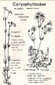 Botany - Botanical - Caryophyllaceae - Cerastium vulgatum - Cerastium pumilum - Arvense