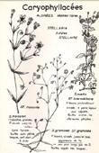 Botany - Botanical - Caryophyllaceae - Stellaria