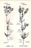Botany - Botanical - Caryophyllaceae - Silene inflata - Lychnis dioica