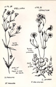 Botany - Botanical - Caryophyllaceae - Stellaria holostea - Cerastium arvense