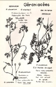 Botany - Botanical - Geraniaceae - Geranium - Dissectum - Cicutarium - Columbinum