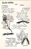 Botany - Botanical - Aceraceae - Acer campestre - Acer platanoides - Acer pseudo-platanus