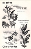 Botany - Botanical - Ilicaceae - Celastraceae - Ilex aquifolium - Evonymus europaeus