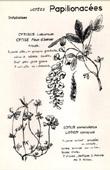 Botany - Botanical - Fabaceae - Cytisus laburnum - Lotus corniculatus