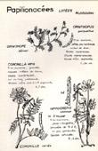 Botany - Botanical - Fabaceae - Ornithopus - Coronilla - Hippocrepis