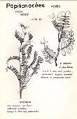 Botany - Botanical - Fabaceae - Vicia sepium - Cracca