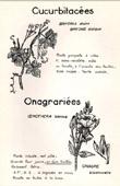 Botany - Botanical - Cucurbitaceae - Onagrarieae - Bryonia dioica - Oenothera biennis