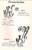 Botany - Botanical - Crassulaceae - Sedum acre - Sedum reflexum