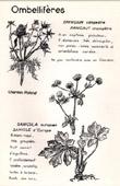 Botany - Botanical - Apiaceae - Eryngium campestre - Sanicula europaea