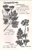 Botany - Botanical - Apiaceae - Chaerophyllum
