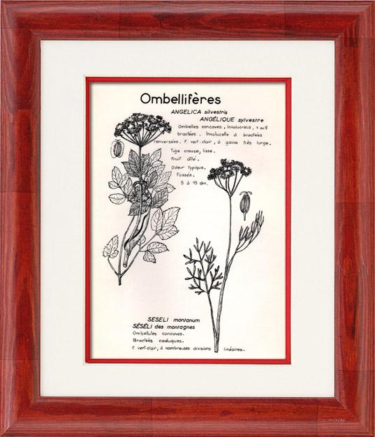 Gravures Anciennes & Dessins | Botanique - Plantes - Ombellifères - Apiaceae - Angelica silvestris - Seseli montanum - Angélique sylvestre - Séséli des montagnes | Planche | 1950