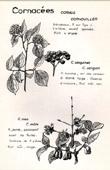 Botany - Botanical - Cornaceae - Cornus sanguinea