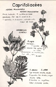 Botany - Botanical - Caprifoliaceae - Adoxa moschatellina - Sambucus