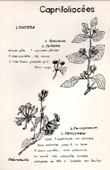 Botany - Botanical - Caprifoliaceae - Lonicera - Periclymenum