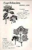 Botany - Botanical - Caprifoliaceae - Viburnum lantana - Opulus