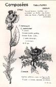 Botany - Botanical - Asteraceae - Cirsium oleraceum