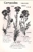 Botany - Botanical - Asteraceae - Cirsium palustre
