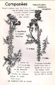 Botany - Botanical - Asteraceae - Carduus - Tenuiflorus