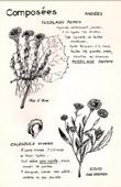 Botany - Botanical - Asteraceae - Tussilago farfara - Calendula arvensis
