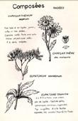 Botany - Botanical - Asteraceae - Chrysanthemum - Eupatorium