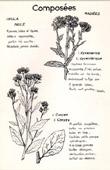 Botany - Botanical - Asteraceae - Inula dysenterica - Conyza