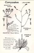 Botany - Botanical - Asteraceae - Helminthia - Chondrilla