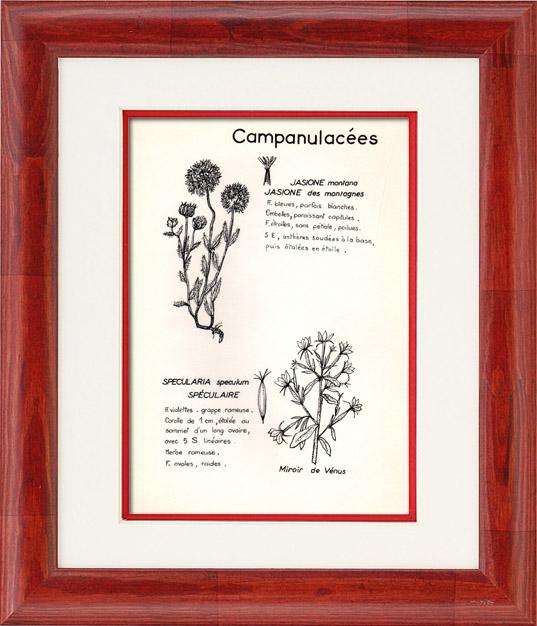 Gravures Anciennes & Dessins   Botanique - Plantes - Campanulacées - Campanulaceae - Jasione montana - Specularia speculum - Jasione des montagnes - Spéculaire miroir de vénus   Planche   1950