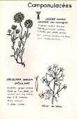 Botany - Botanical - Campanulaceae - Jasione montana - Specularia speculum