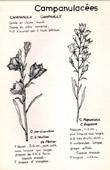 Botany - Botanical - Campanulaceae - Campanula - Persicaefolia