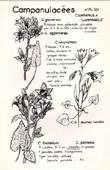 Botany - Botanical - Campanulaceae - Campanula - Rotundifolia