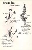 Botany - Botanical - Ericaceae - Erica - Calluna