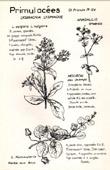Botany - Botanical - Primulaceae - Lysimachia lysimaque - Anagallis - Nummularia