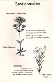 Botany - Botanical - Gentianaceae - Erythraea centaurium - Gentiana pneumonanthe