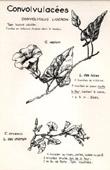 Botany - Botanical - Convolvulaceae - Convolvulus