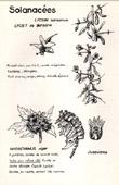Antique print - Botany - Botanical - Solanaceae - Lycium barbarum - Hyoscyamus niger