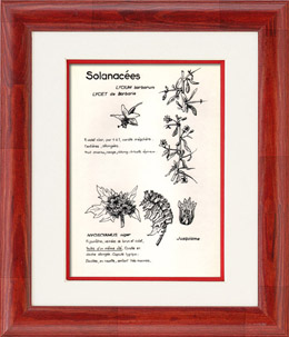 Botany - Botanical - Solanaceae - Lycium barbarum - Hyoscyamus niger
