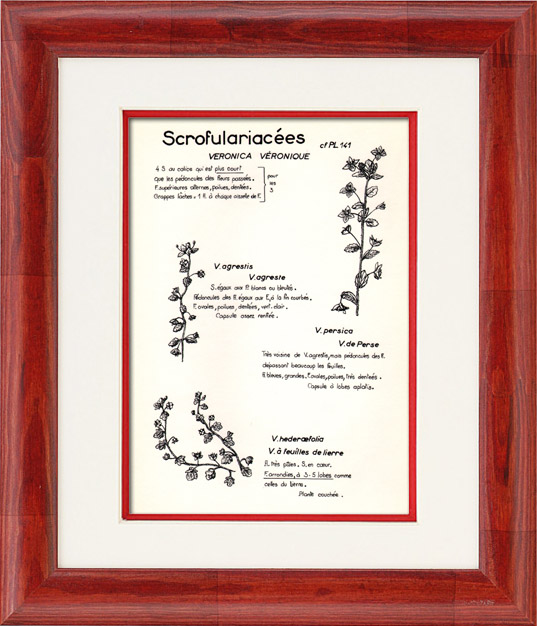 Gravures Anciennes & Dessins | Botanique - Plantes - Scrofulariacées - Scrophulariaceae - Veronica - Agrestis - Persica - Véronique de Perse | Planche | 1950